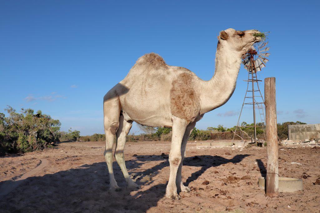 Thali Thali Game Lodge Camel